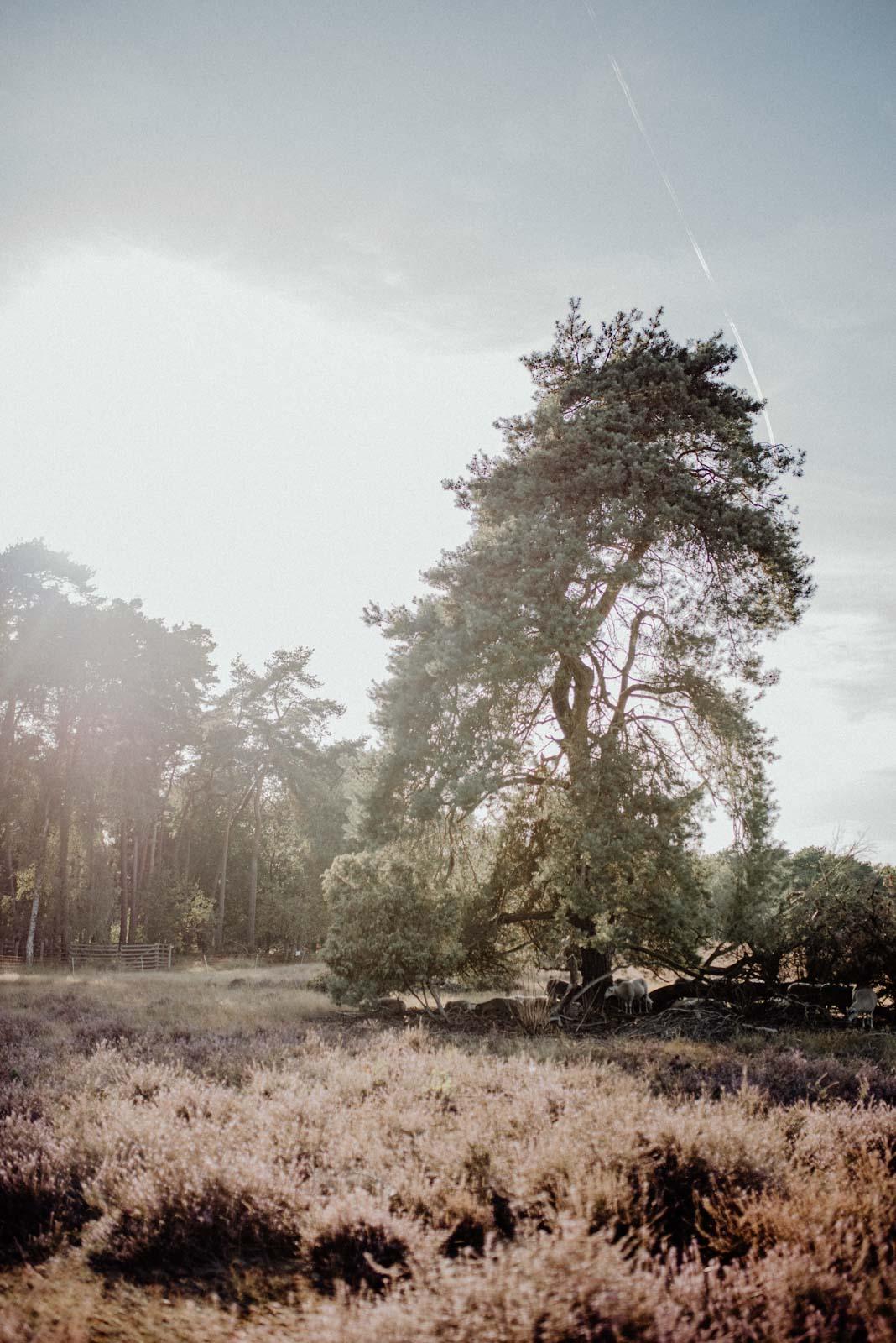 Baum in heidelandschaft
