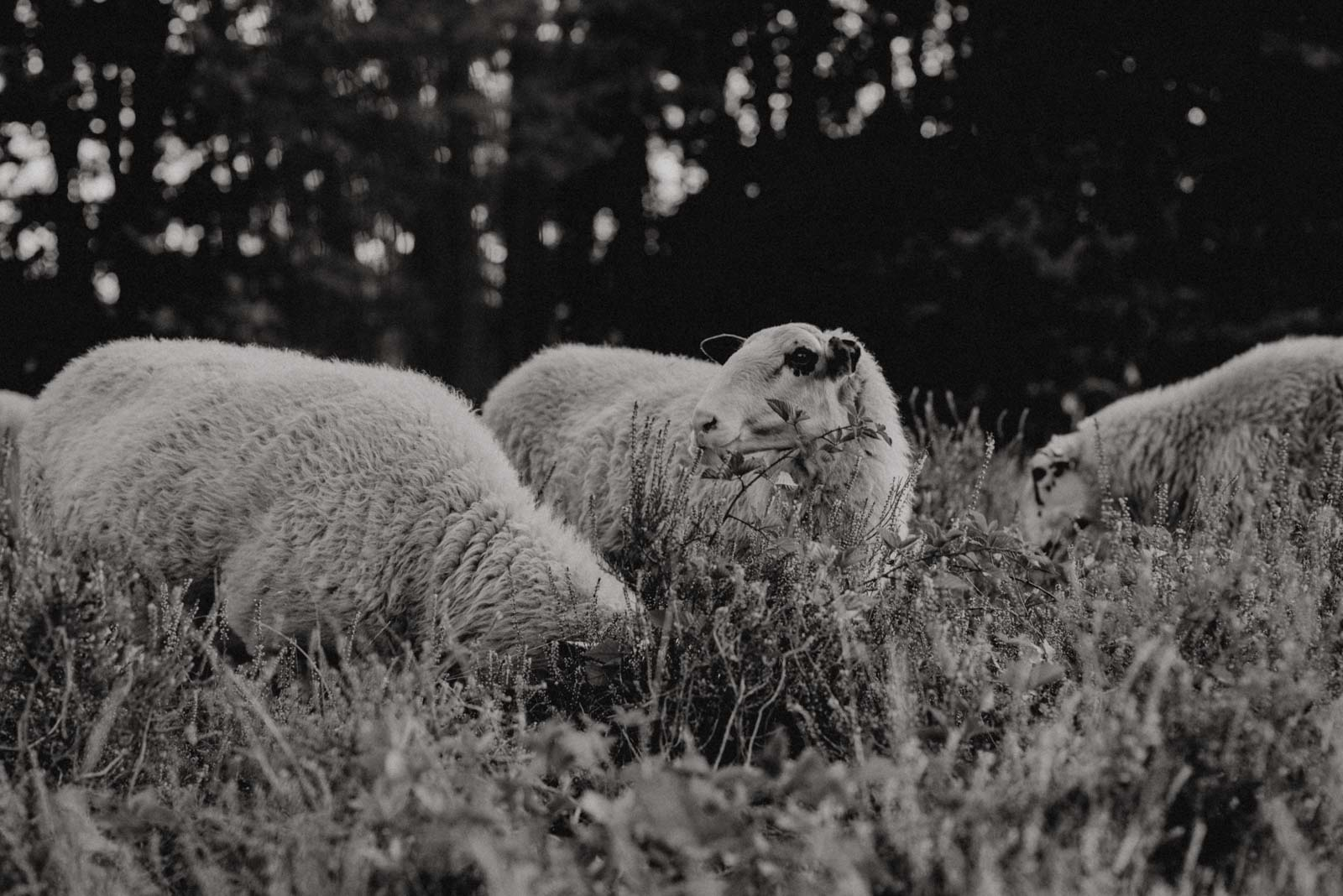 Schafe die in der heide grasen